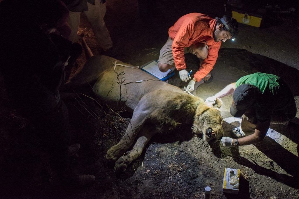 Johnathan Merkle and Ben Goodheart of the Zambia Carnivore Programme are inspecting the wound of a male lion wounded by a snare. After tracking down the lion and sedating it with a tranquilizer dart, the scientists have about 30 minutes to work on the lion before they need to give him space to wake up. Removing the snare, cleaning the wound and giving the lion antibiotics to help ward of infection, the scientists hope to give the lion a better chance of survival despite being the victim of a snaring attempt.