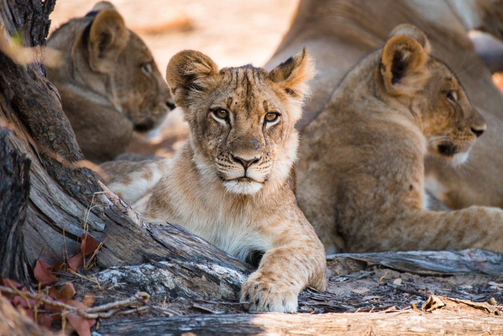 The young cubs of Mwamba One pride, huddled in the shadow of a tree in South Luangwa National Park. Since lions can't sweat, they spend most of their time in the hot season resting beneath large trees.