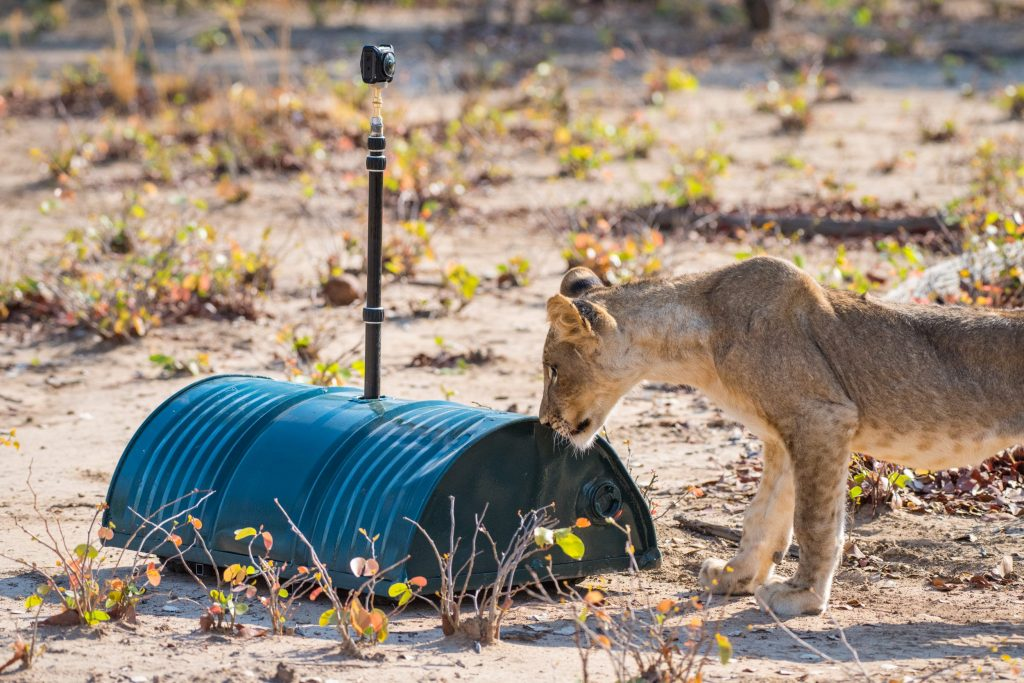 A lion cub of the Mwamba pride meeting the Droid camera system for the first time ever. After realizing the camera car wasn't that interesting (being all metal) the lions slowly accepted it as a creature of some kind - letting the team move around freely through a remote controller.