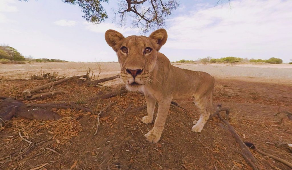 Martin Edström also led a National Geographic team in capturing the first ever 360-documentary filmed from the heart of a pride of wild lions - making it possible for people to meet a lion face to face in Virtual Reality.
