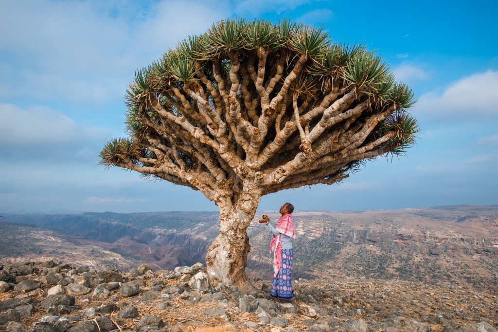 The Dragon's Blood Tree has drawn people to Socotra for millenia