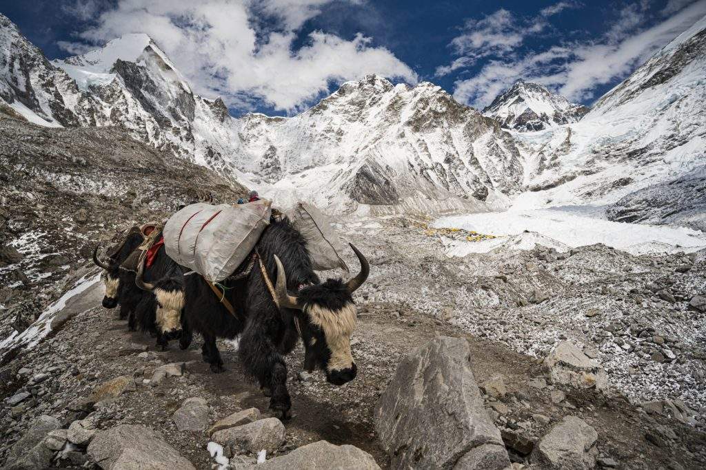 A yak walks past Everest Base Camp while filming 360-video for the Everest VR films.